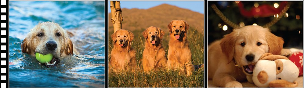 Southern California Golden Retriever Rescue | Finding loving
