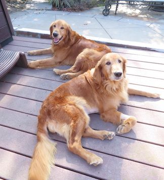Available Goldens Southern California Golden Retriever Rescue