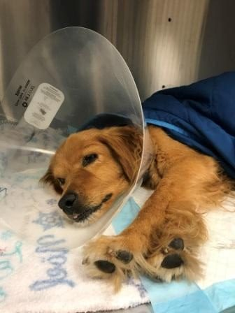 Dogs Southern California Golden Retriever Rescue Page 9
